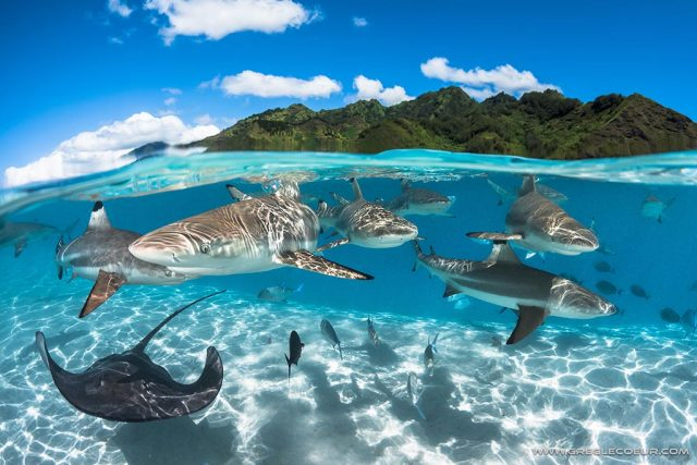 Black tip sharks & ray in the lagoon of Moorea
