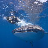 walhaie 03 cancun mexiko reisebaustein yucatan dive trek tiburon ballena